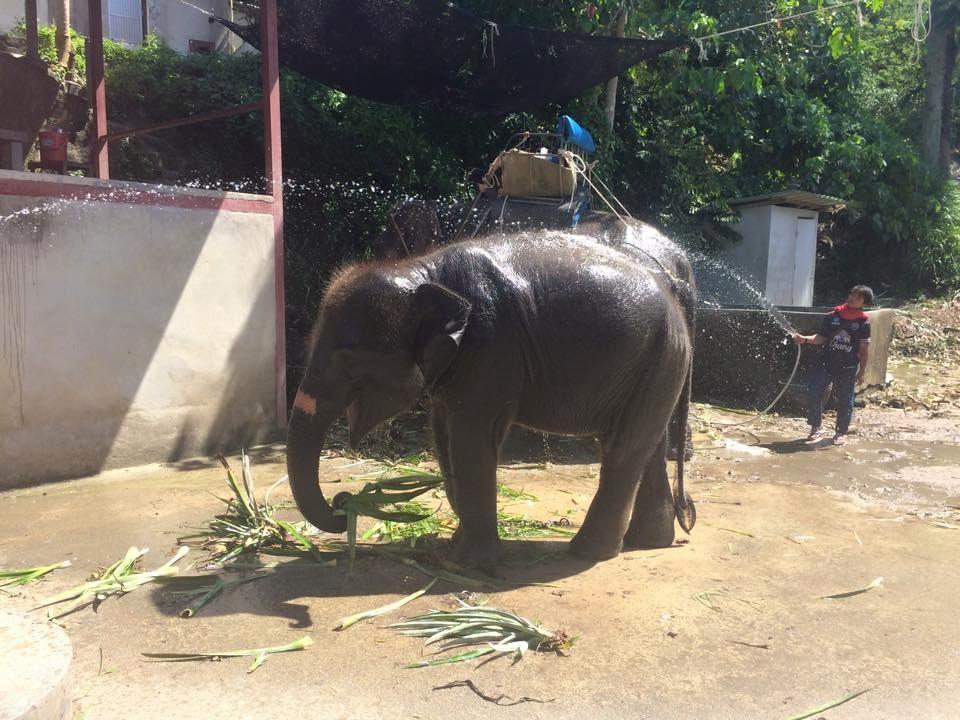 baby elephant, travels, travelling, thailand, backpacking, elephants, elephants,