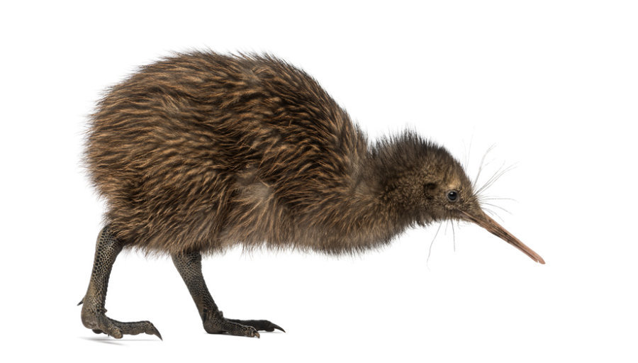 Kiwi, Kiwi bird, bird, flightless bird, new zealand
