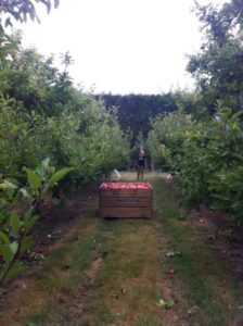 apples, orchard, napier, new zealand, travelling,