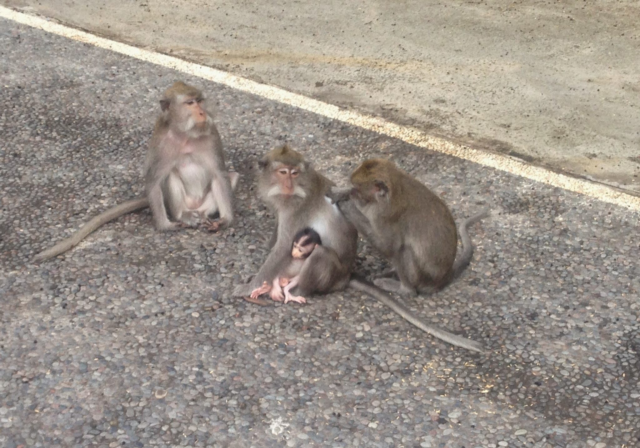 Monkeys, macaque, macaques, travels, travelling, backpacking,